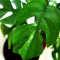 観葉植物モンステラの花言葉と育てる時に注意したい5つのポイント