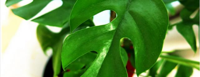 観葉植物モンステラの花言葉の意味と育てる時に注意したい5つのポイント