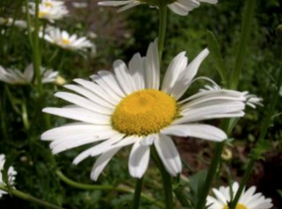 デイジーの花言葉の使って前向きに生きる5つのコツ