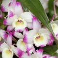 デンドロビウムの花言葉を意識した5つの育て方