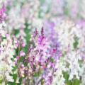 リナリアの花言葉を使って恋を伝える5つの方法