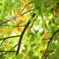 柚子の花言葉の意味と育てる時に注意したい5つのポイント