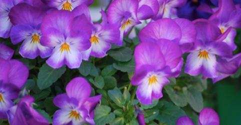 ビオラの花言葉の意味と育てるときの5つのポイント