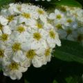 コデマリに関する知識と花言葉に関する5つのポイント