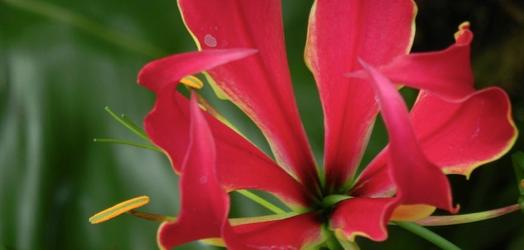 グロリオサの花言葉の意味を理解して困難に打ち勝つ5つの方法