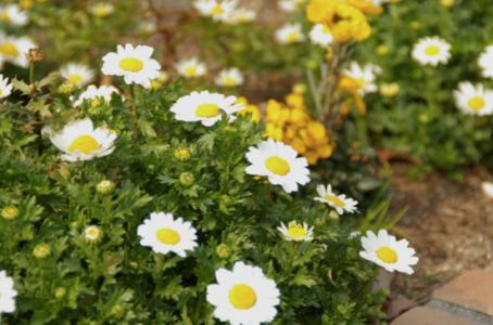 ノースポールの花言葉の意味と育てるための5つのポイント