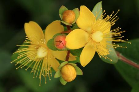 ヒペリカムの花言葉の意味を理解して前向きに生きるための5つのポイント14.23.56