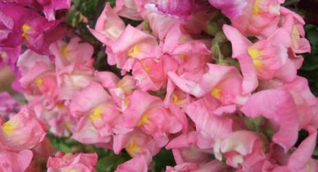 金魚草の花言葉を理解して自分の欠点を改善する5つの方法