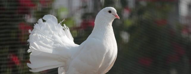 鳩がでてくる夢を見たときの意味と5つのポイント