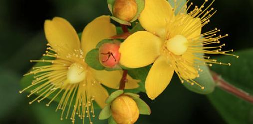 ヒペリカムの花言葉の意味を理解して前向きに生きるための5つのポイント