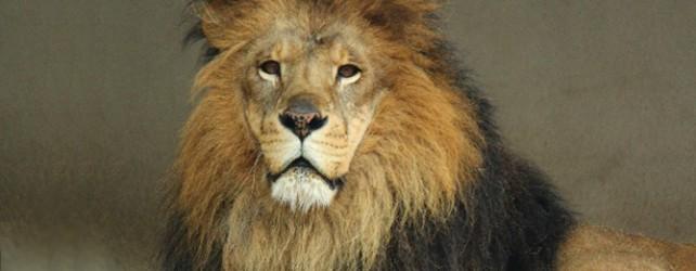 【夢占い】 ライオンの夢を見たときの5つの意味